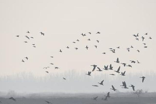 包头市:加大野生动物保护力度助力候鸟迁徙