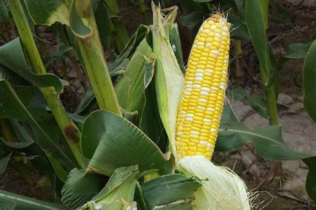 乌兰察布市四子王旗:种鲜食玉米收益高