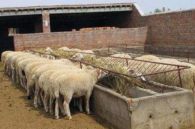 """巴彦淖尔市临河区:""""羊""""光大道阔步行"""