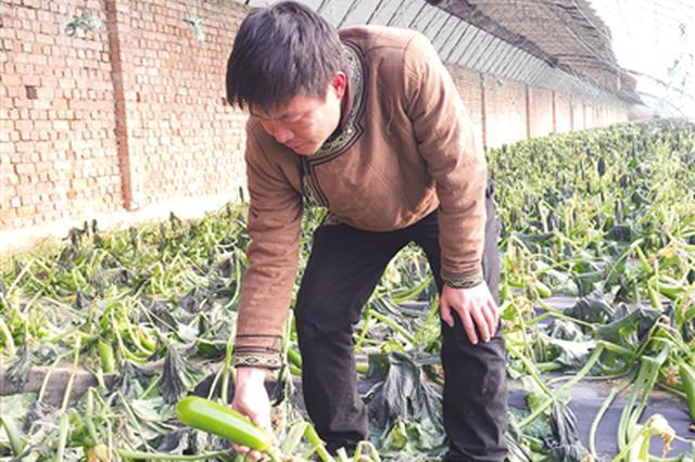 玉泉区乌兰巴图村66亩大棚蔬菜受冻几近绝收