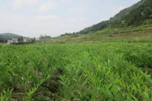 阿拉善左旗供销社累计成功引种中药材1.2万余亩