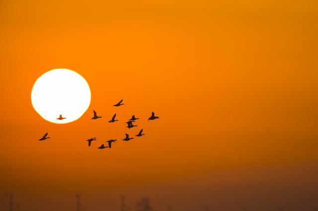 黄河湿地候鸟翩跹 蓝天夕阳相映如画