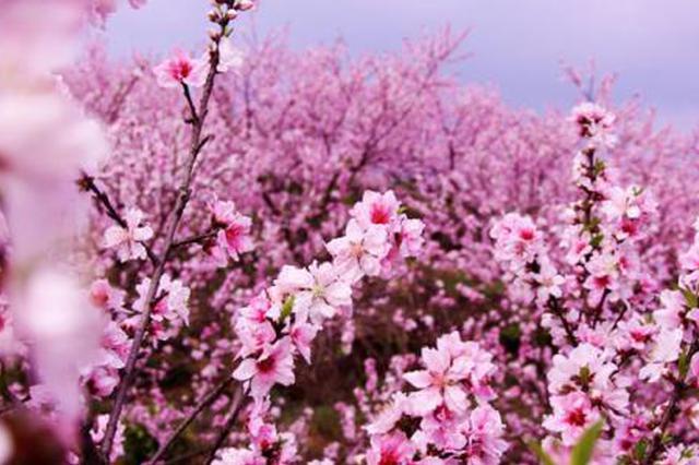 踏春好去处!呼和浩特市公主府公园桃花含苞待放