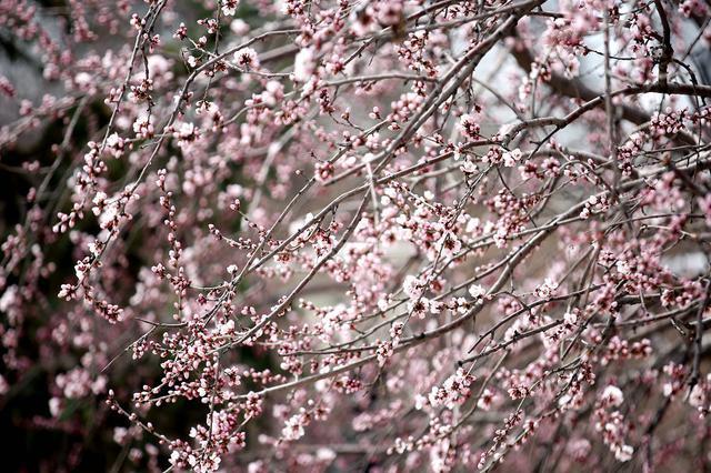 航拍:塞外桃花始盛开 市民踏青赏花忙