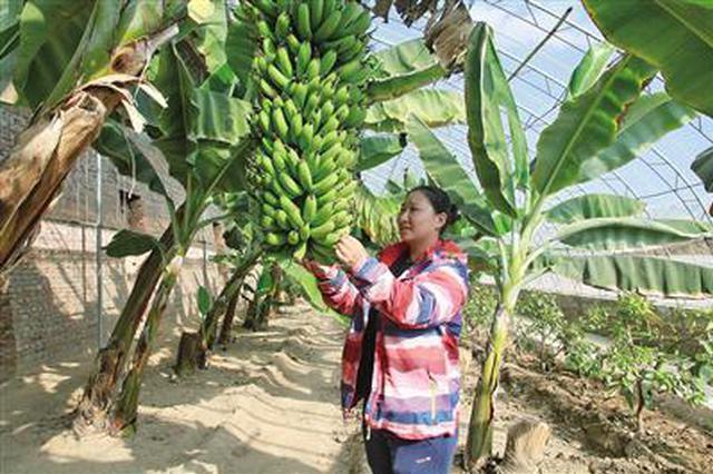 小康图景丨热带水果在赤峰市喀喇沁旗种植成功