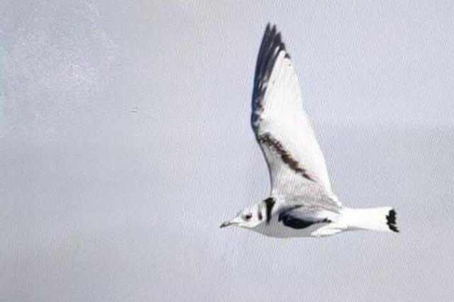 """罕见鸟种""""三趾鸥""""于中国第五大淡水湖呼伦湖出没"""