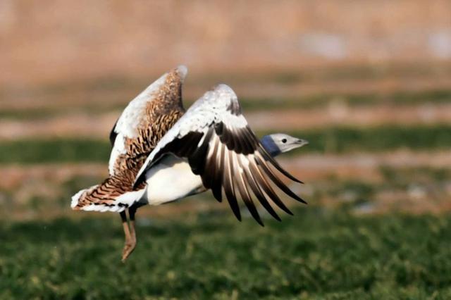 内蒙古兴安盟现近百只国家一级重点保护动物大鸨