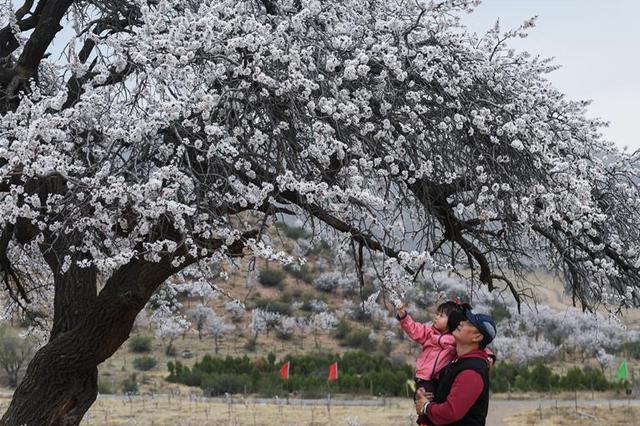 塞外杏花美丽盛开