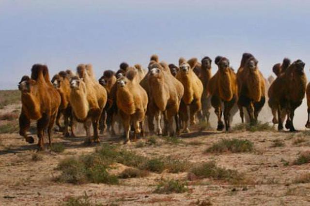 阿拉善右旗:39岁男子连撞9只骆驼?#21491;?#34987;拘留