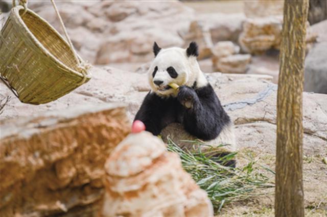 大熊猫来呼一年啦