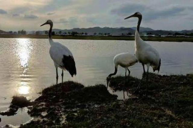 """国家一级保护动物丹顶鹤""""一家三口""""作客科尔沁草原"""
