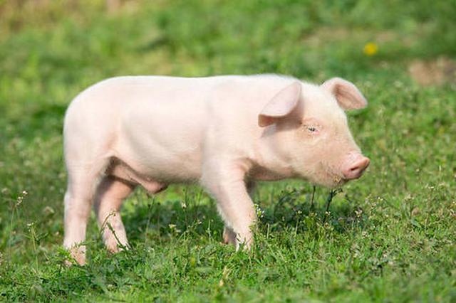 内蒙古自治区投入近20亿元扶持生猪产业发展