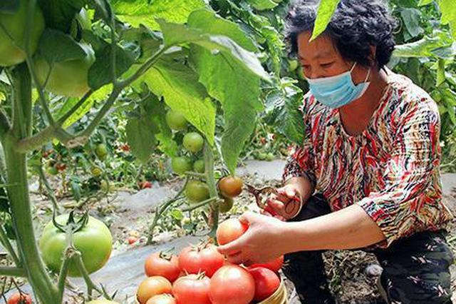 通辽市科尔沁:集体经济促增收 西红柿映红好日子