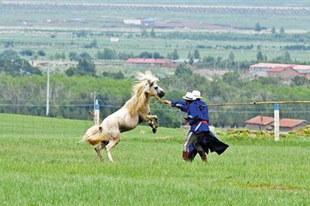"""""""中国白马之乡""""乌珠穆沁白马已逾6000匹"""