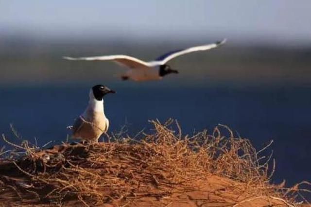 鄂尔多斯市:查汗淖尔湖数千只遗鸥进入育雏高峰期