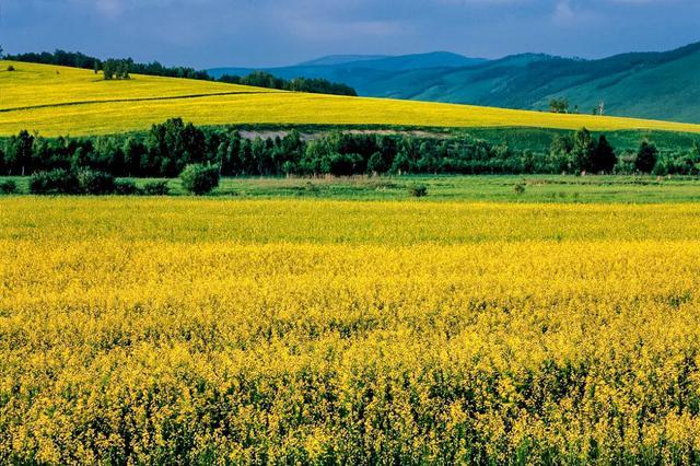 爱上内蒙古 | 兴安油菜开满地,百亩林中半是花