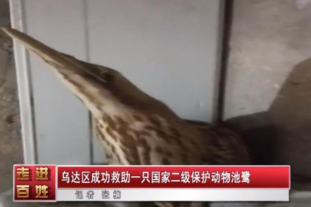 乌海市乌达区成功救助一只国家二级保护动物池鹭