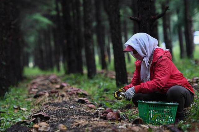 林下种菌助增收