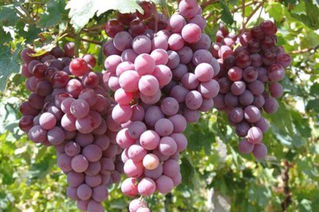 准格尔旗大路镇苗家滩社区:扶贫大棚里的葡萄成熟