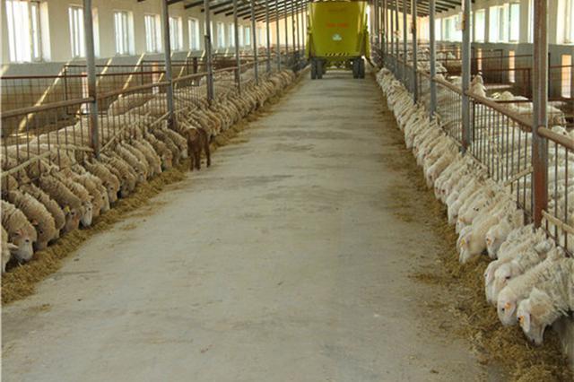 """鄂尔多斯准格尔旗:科技养殖引领农牧民发""""羊""""财"""