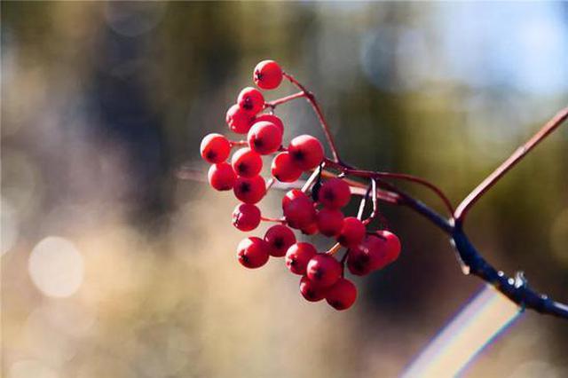 爱上内蒙古   垂涎欲滴的林区野果 哪个是你的最爱?