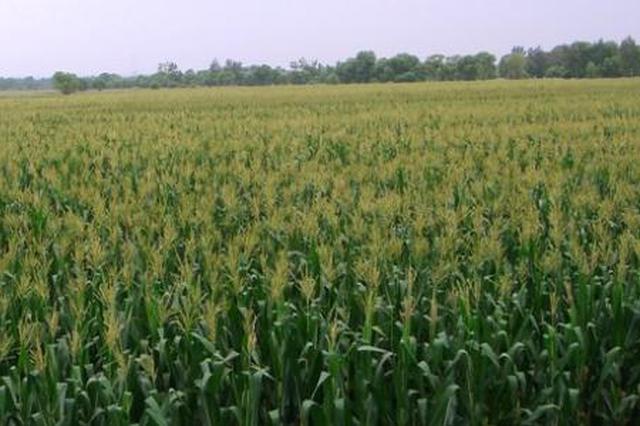 通辽市科左中旗60万亩粮饲兼用玉米迎来大丰收