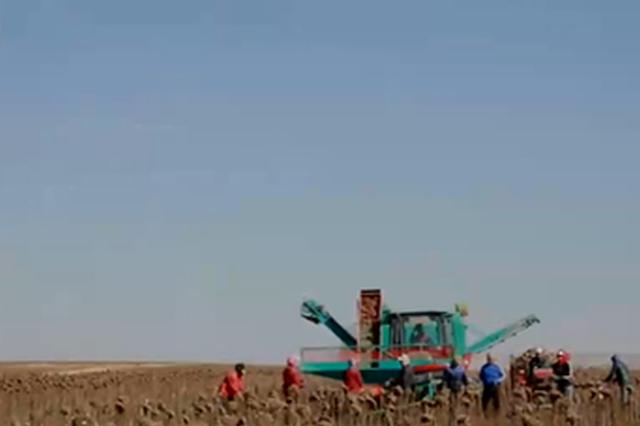 内蒙古20万亩葵花丰收 特色产业助推农民就业增收