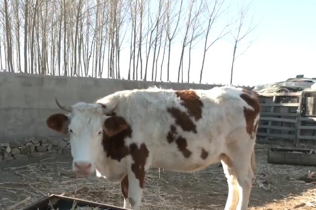 千村千户脱贫故事丨铁山:发展牛产业 走上致富路