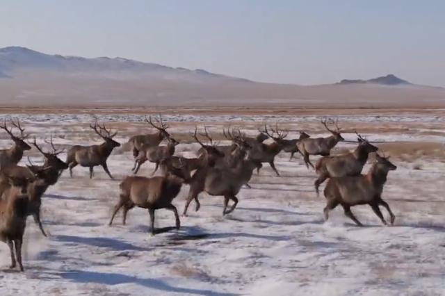 内蒙古自治区:马背警队民警草原偶遇野生马鹿群