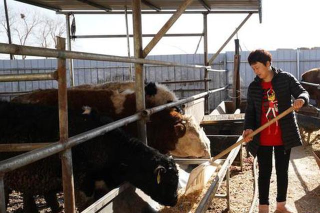 """內蒙古巴彥淖爾市:肉牛養殖打開""""脫貧致富門"""""""