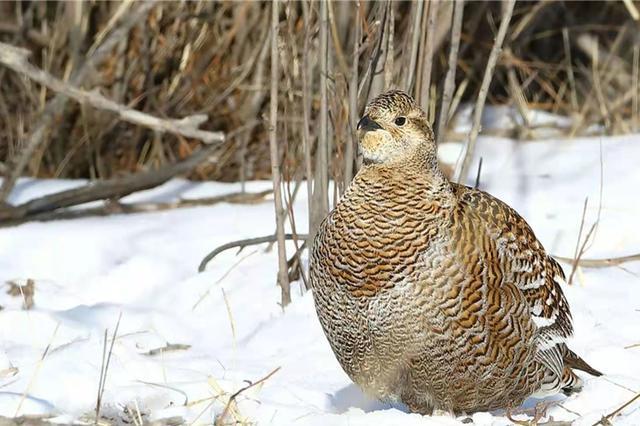 爱上内蒙古 | 稀有鸟类黑琴鸡现身满都宝力格草原
