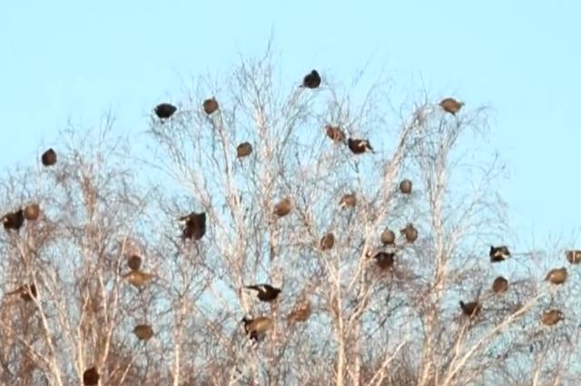 大兴安岭监测到国家一级重点保护鸟类黑琴鸡采食活动画面