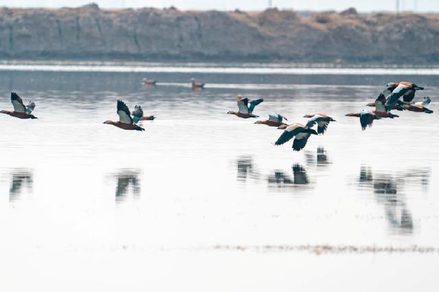 候鸟北归土默川