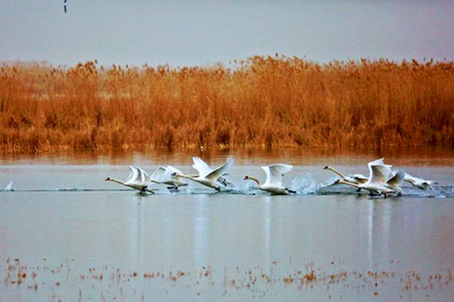 塞外明珠烏梁素海:萬只嬌鳥共啼鳴