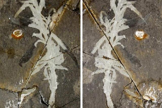 """古生物學家發現1.25億年前""""寧城中華草"""""""