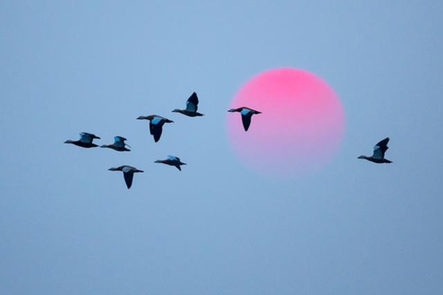 愛上內蒙古 丨 巴彥淖爾 有種姿態叫自由飛翔