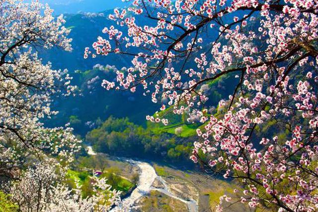 準格爾旗第六屆鄉村旅游杏花季活動明天正式開啟