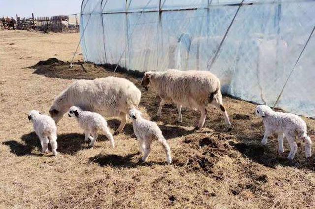 """巴爾虎草原與春天有個約會:牧民和""""小可愛""""們的幸福生活"""