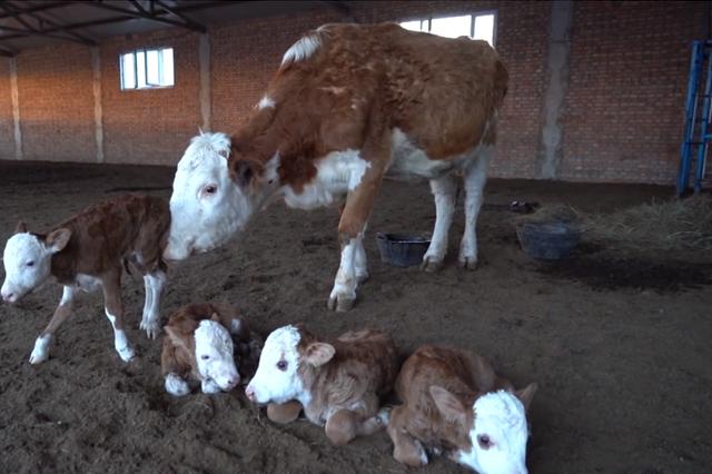 罕見!內蒙古牧民喜迎萌牛四胞胎