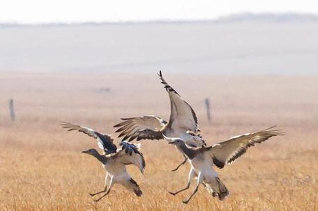內蒙古興安盟迎大批遷徙候鳥