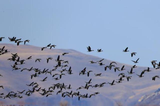 额尔古纳迎候鸟迁徙高峰 数千万过境鸟儿飞抵中国最后一站