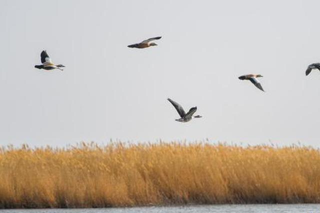 爱上内蒙古 丨 大批候鸟飞抵阿拉善盟居延海