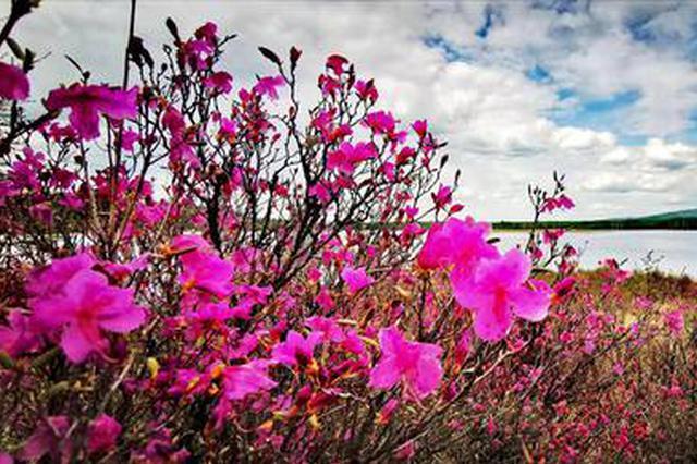 阿尔山的春天 赏杜鹃花的好时节