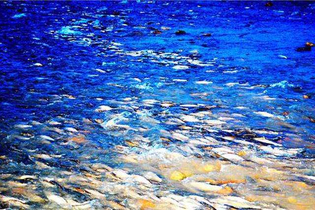 赤峰市达里湖上演华子鱼生死洄游
