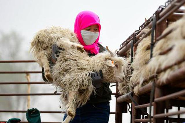 内蒙古鄂尔多斯:远近闻名的活羊交易市场交易忙