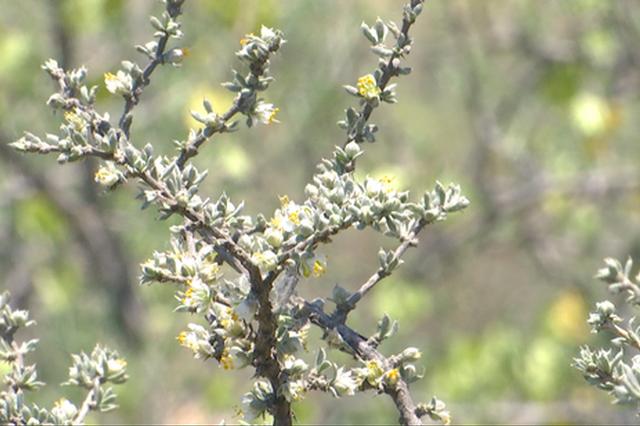 石泰峰:保护好四合木这个濒危物种责任重大