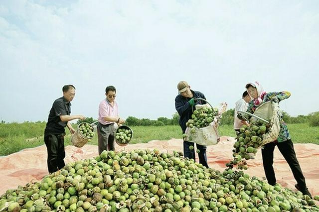 興安盟突泉縣:文冠果豐收 打造富民綠色產品