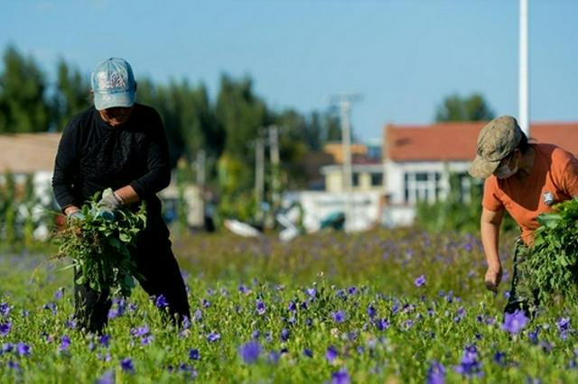 內蒙古赤峰市:中蒙藥材種植助力鄉村振興