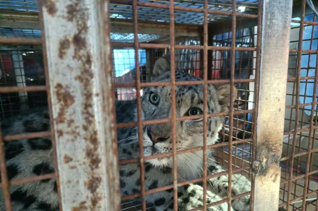 烏蘭察布市四子王旗:雪豹現身草原獲及時救助