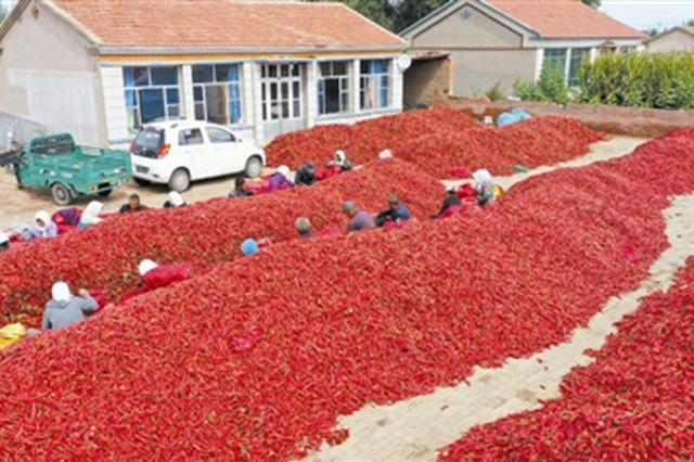 内蒙古自治区通辽市开鲁县:辣椒红了 农民笑了